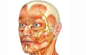 Сводит мышцы лица