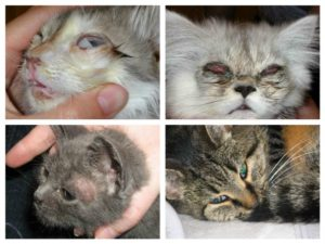 Токсоплазмоз, кошка, царапина
