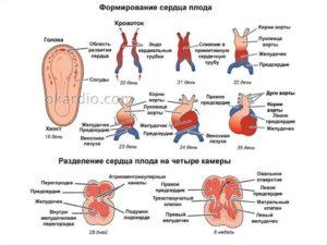 Сердцебиение у эмбриона
