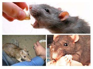 Бешенство от мышей