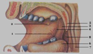 Дырка с внутренней стороны щеки